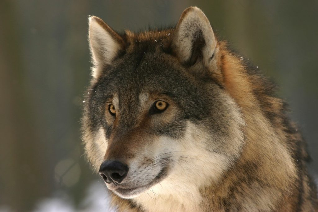 Dog DNA tests reveal dogs to be much closer to wolves than originally thought